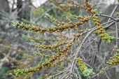 picture of sea-buckthorn  - Blossoming branch of sea - JPG