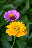 image of zinnias  - a pair zinnia flower in the garden  - JPG