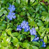 Flowers Of Periwinkle