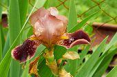 Burgundy Iris Flower In The Garden