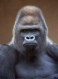 stock photo of gorilla  - Portrait of a gorilla male - JPG