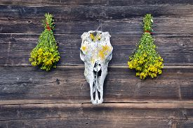 picture of cranium  - horse skull cranium and two bunch medical St Johns wort flowers on old wooden farm wall - JPG