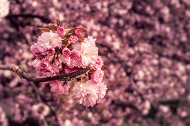 picture of marsala  - marsala toned delicate pink flowers blossomed Japanese cherry trees - JPG