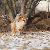 image of collie  - Beautiful Scotch collie running on snow in winter - JPG