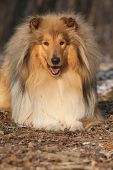 picture of collie  - Amazing scotch collie lying in winter forest - JPG