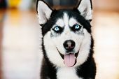 foto of pure-breed  - Close Up Head Young Happy Husky Puppy Eskimo Dog With Blue Eyes - JPG
