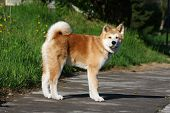 pic of puppy dog face  - Puppy of Japanese dog Akita Inu posing in the street - JPG