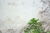image of ivy vine  - abstract vine pattern growing on concrete wall - JPG