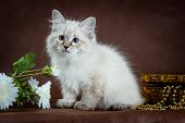stock photo of masquerade  - Neva masquerade kitten on dark brown background - JPG