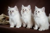 pic of masquerade  - Three Neva masquerade  kittens on brown background - JPG