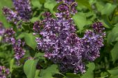 picture of lilac bush  - Blossoming lilac bush with green leaves close - JPG