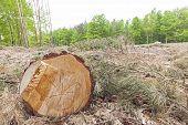picture of deforestation  - Tree stump on felled forest deforestation process - JPG