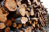 foto of timber  - Harvesting timber logs in a forest in Russia - JPG