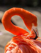 picture of grooming  - Colorful flamingo in the sun grooming its feathers - JPG