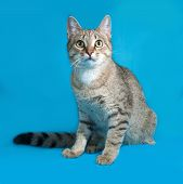 foto of blue tabby  - Grey tabby cat sitting on blue background - JPG