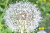 foto of defloration  - deflorate enlarged Dandelion ( blowball ) with fluff and seeds over green