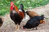 picture of gaul  - a chicken that runs to the yard of a farmhouse in the midst of earth and grass - JPG