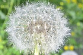 image of defloration  - deflorate enlarged Dandelion ( blowball ) with fluff and seeds over green ** Note: Shallow depth of field - JPG