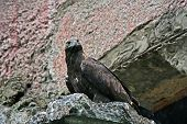 Proud Eagle On A Rock
