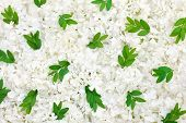 Guelder rose blossoms and myrtle leaves - background