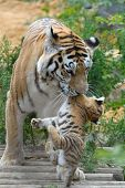 tigriss con un cachorro entre los dientes