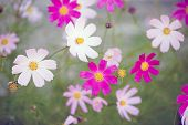 picture of cosmos flowers  - Cosmos flowers in an autumn garden - JPG