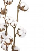 Cotton isolated over white