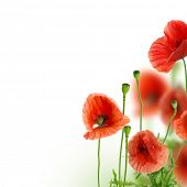 picture of stamen  - Beautiful Poppies Border - JPG