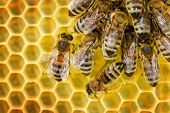 stock photo of honey bee hive  - Worker Bees on Honeycomb - JPG