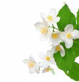 Jasmine over white