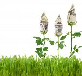 Growing Money Roses.Concept image