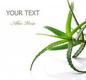 Aloe Vera isolado no branco