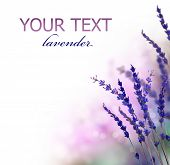 stock photo of lavender plant  - Lavender flowers border - JPG