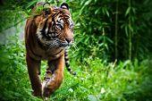 Tigre caza