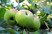 green apples on tree branch