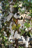 Cotton Plant with Cotton flowers and Cotton fluff. most downloaded cotton plant.  poster