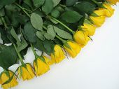 Bunch Of Yellow Roses On White Background