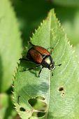 Japanische Käfer