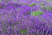 foto of lavender field  - Color lavender field - JPG
