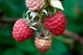 Organic Raspberries On Bush, Copy Space. Cultivation, Food. Raspberry Plantation. Growing Berries Cl poster