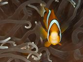 Clark`s Anemone fish front view (Amphiprion clarkii)