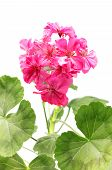 picture of close-up  - pink geranium flower isolated on white background - JPG