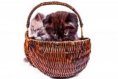 Two Cute Kittens Are Playing In The Wicker Basket. Scottish Straight And Scottish Fold Kitten Isolie poster