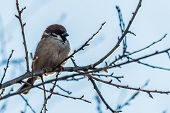 The House Sparrow (passer Domesticus) poster