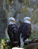 Pair Of Sleeping Bald Eagles Beside A Rocky Cliff. poster