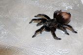 Tarantula, Brachypelma Vagans Hibrid, Curly-hair Tarantula Spider poster