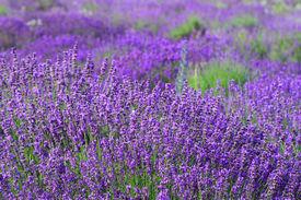 foto of lavender field  - Color lavender field - JPG