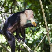 Monkey Biting A Banana