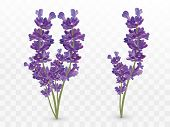 Bunch Beautiful Violet Flowers. Lavender Isolated On Transparent Background. Fragrant Bunch Lavender poster