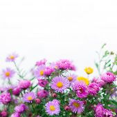 Chrysanthemum Flowers Macro, Shallow Depth Of Field. Pink Chrysanthemum Flowers At The Bottom Of Whi poster